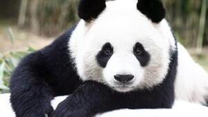 22 Kasım Hadi ipucu sorusu: Soyu tükenme tehlikesinde olan sevimli hayvan hangisidir