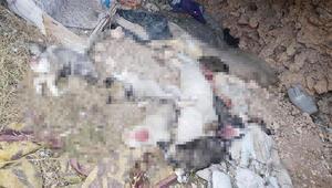 Vahşet 5 köpek yavrusu parçalanmış halde bulundu