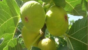 Melli inciri coğrafi işaretle markalaştı