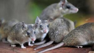 Anadolu dikenli faresi, Bursada koruma altında