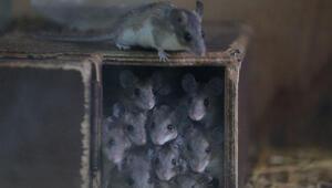 Yer Bursa… Bu fareler koruma altına alındı