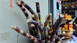 Şeker kamışı kültürü Adanada yeniden canlandı