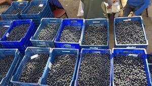 Marmarabirlik'ten, Orhangazili zeytincilere  10 milyon TL ödeme