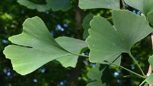 Ginkgo biloba nedir Ginkgo biloba bitkisinin faydaları neler