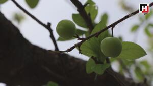 Muğlada erik ağacı meyve verdi