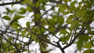 Erik ağacı meyve verdi