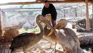 Doğada yaralı ve bitkin bulunan 3 pelikan tedaviye alındı