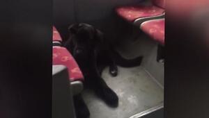Otobüse binen sokak köpeği şoför koltuğuna oturdu