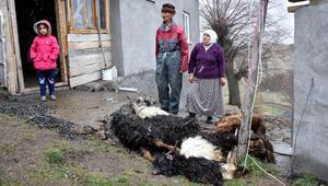 Sivasta koyun- keçi vebası paniği