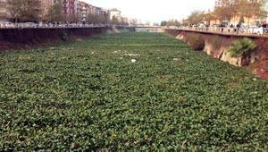 Asi Nehrinin yüzeyi su sümbülüyle kaplandı
