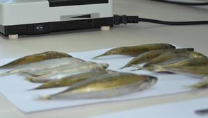 Karadenizdeki 2 balık türünde hastalık yapan parazit tespit edildi