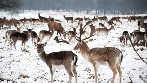 İngilterenin geyikleriyle ünlü parkı insanlarda hastalığa neden oluyor