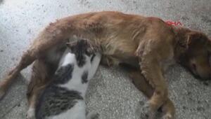 Aç kalan yavru kediyi sokak köpeği böyle emzirdi...