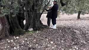 Somadaki 3 zeytin ağacı anıt ağaç statüsüne alınacak
