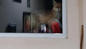 Evinin kapısını her gece gelen tilkiye açıp, yiyecek veriyor