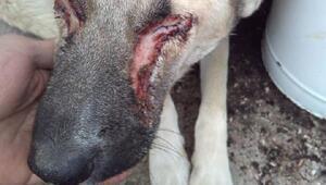 Sokak köpeğinin oyulduğu sanılan gözleri iltihaplanmış