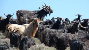 Kıl keçilerini anlattılar birinci oldular