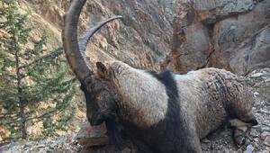 Artvinde av turizmi başladı, sezonun ilk yaban keçisi avlandı