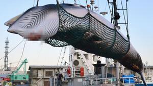 Japonya Uluslararası Balina Avcılığı Komisyonundan çıkıyor