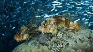 İzmirde de görüldü Köpek balığını öldürüyor