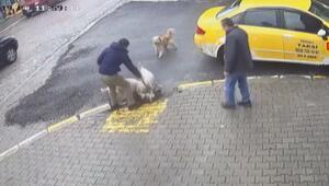Sakaryada iki Dogo Argentino cinsi köpek sokak köpeğini ağır yaraladı