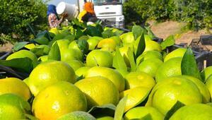 Turunçgillerde en çok mandalina ihracat edildi