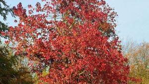 9 Ocak hadi ipucu: Kozmetik ve eczacılıkta kullanılan ağaç hangisidir Günlük ağacı olarak biliniyor