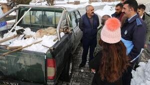 Vartoda köylülerin yakaladığı kurdu Kaymakam serbest bıraktırdı