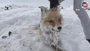 Çaldıranda Sibirya soğukları bir tilkinin telef olmasına neden oldu