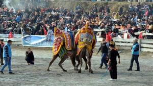 Cumhur İttifakının Aydın adayları deve güreşlerini izledi