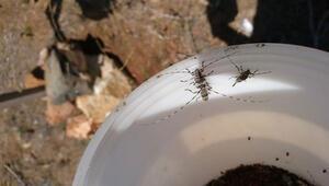 Mersin'de 4 milyon orman zararlısı böcek imha edildi