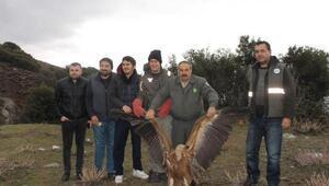 Nesli tehlike altındaki kızıl akbaba, tedavi edilip doğaya salındı