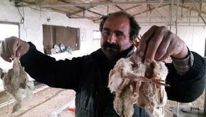 Mersinde 2 milyon civciv ölüme terk edildi