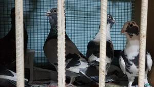 75 bin liraya güvercin satıyorlar