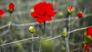Kesme çiçek ihracatında 14 Şubat etkisi