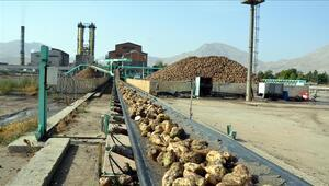 Pancardan şeker üretiminin oranı artırıldı