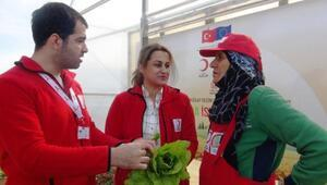 Kızılayın Suriye sınırında kurduğu serada ürün hasadına başlandı