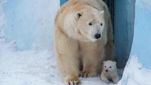 Rusyada kutup ayıları şehre indi, acil durum ilan edildi
