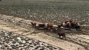 Avustralyadaki selde 300 bin sığır telef oldu