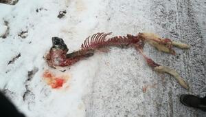 Kurtlar saldırdıkları köpeği parçalayarak yedi