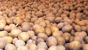 Patates üreticilerine tohum desteği