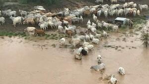 Avustralyada 500 bin inek selde öldü