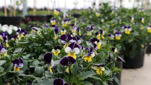 Güneydoğuda çiçekçilerin 14 Şubat Sevgililer Günü hazırlığı