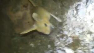Tuncelide kanguru faresi görüntülendi