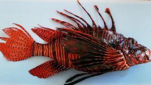 Antalyada istilacı aslan balığının eti tanıtıldı