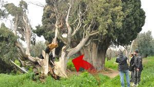 Bursada skandal 700 yıllık ağaçları bakın neden yakıp, kestiler...