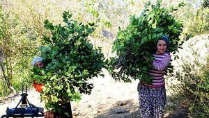 Türkiyeden Avrupaya 14 bin ton defne yaprağı ihracatı