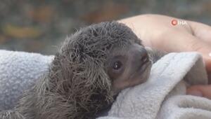 Ağaçtan düşen yavru tembel hayvanın annesine kavuşma anı