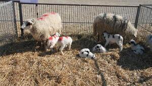 Amasya'da altız doğuran koyun ilgi odağı oldu