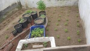Ahırında Hint keneviri yetiştirmekten gözaltına alındı